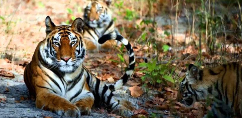 bengal tiger in bardia
